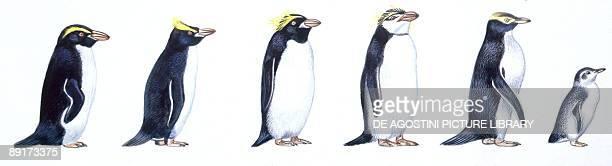 Birds Sphenisciformes Snares Penguin Royal Penguin Macaroni Penguin Gentoo Penguin Yelloweyed Penguin Little Penguin illu