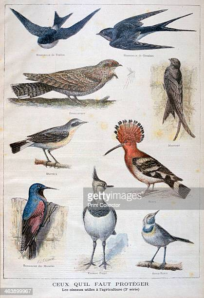 Birds that are protected and helpful in agriculture 1897 An illustration from Le Petit Journal 10th January 1897