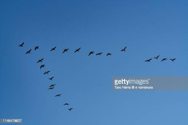 Birds v-shape flying in the blue sky in Japan