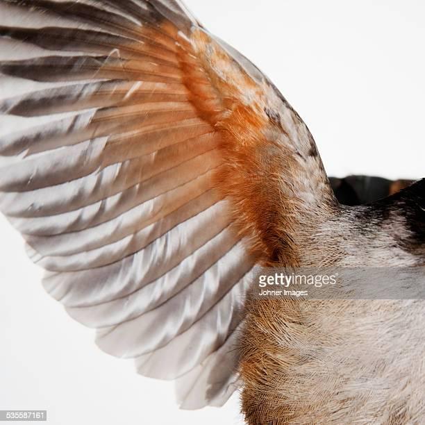 Birds wing, studio shot