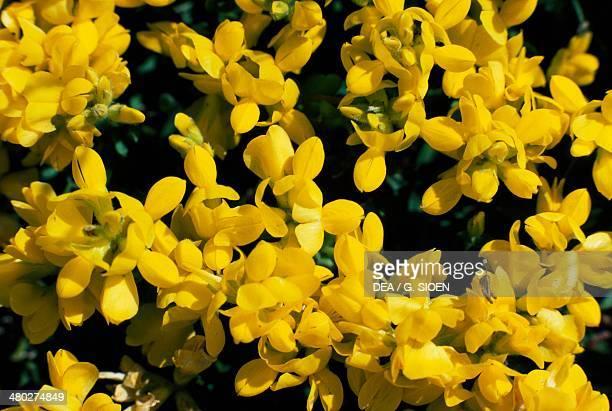 Bird'sfoot trefoil Cat's clover or Ground honeysuckle Fabaceae