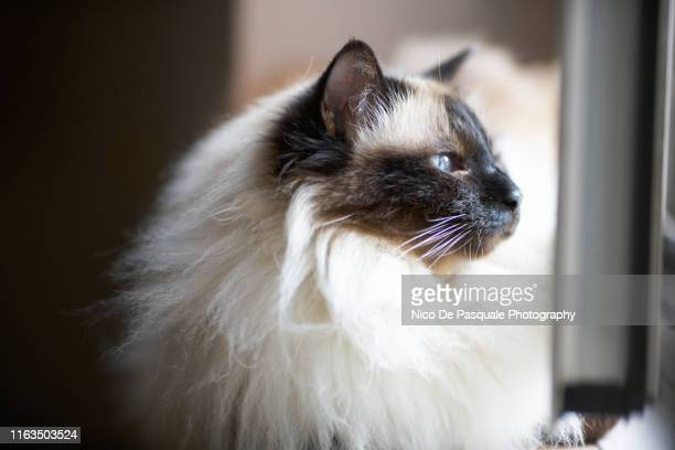 birman cat - purebred cat stock pictures, royalty-free photos & images