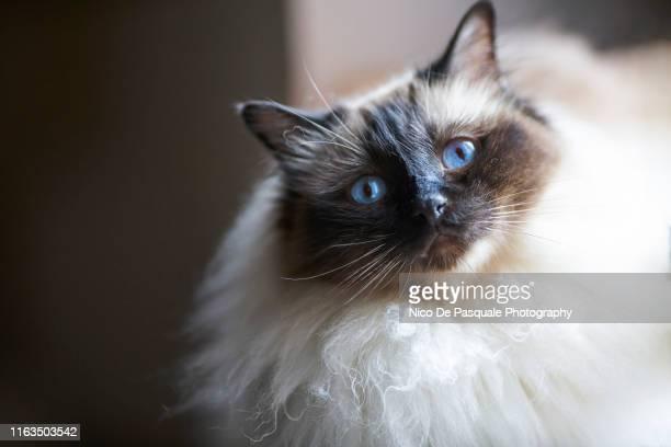 birman cat - nico de pasquale photography stock pictures, royalty-free photos & images