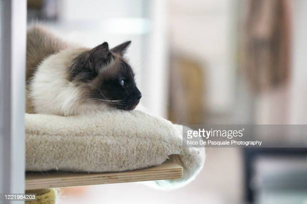 birman cat - animal body stock pictures, royalty-free photos & images