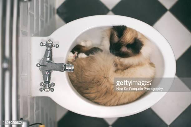 birman cat sleeping in bidet - bidé bildbanksfoton och bilder