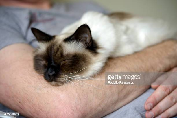 birman cat sleeping on man's chest - hairy man chest stock photos and pictures