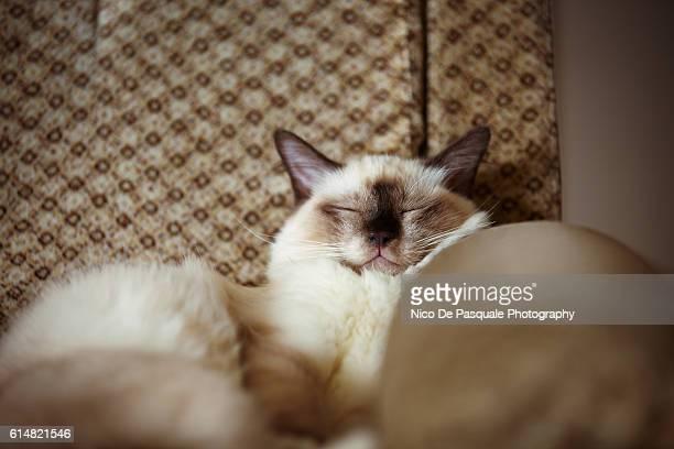 Birman cat sleeping on sofa