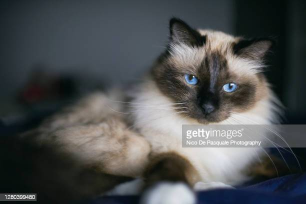 birman lying on bed - animal body stock pictures, royalty-free photos & images