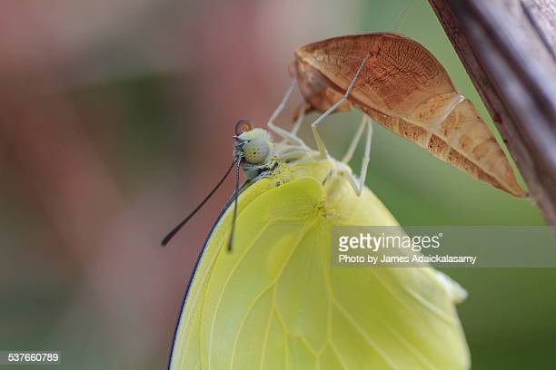 Birth of Common Yellow Butterfly