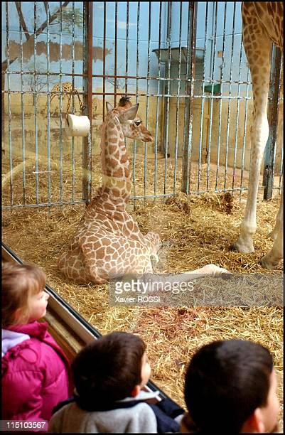 Birth of 'Lamiral ' a baby giraffe at Vincennes zoo in Paris France on March 11 2002