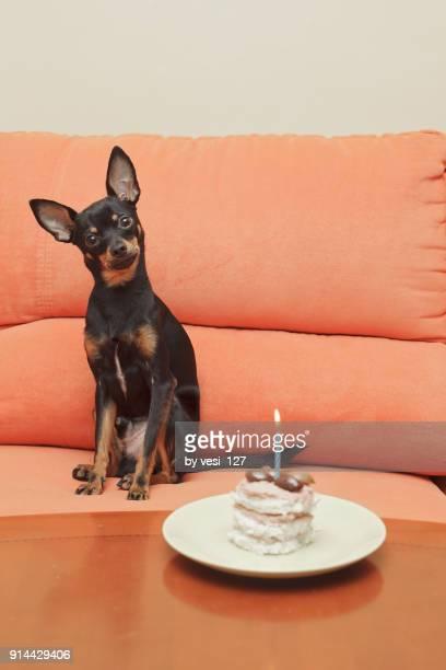 birthday boy - pinscher nano foto e immagini stock