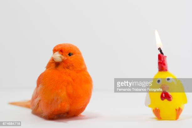 Birthday candle with fire flame and small red canary bird blows the candle