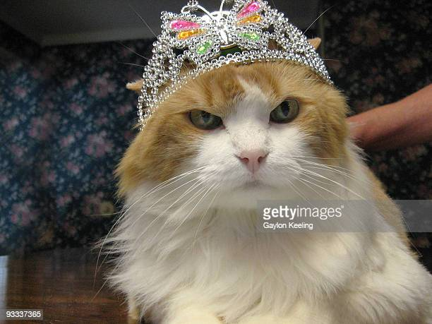 birthday cat wearing a tiara - happybirthdaycrown stock pictures, royalty-free photos & images