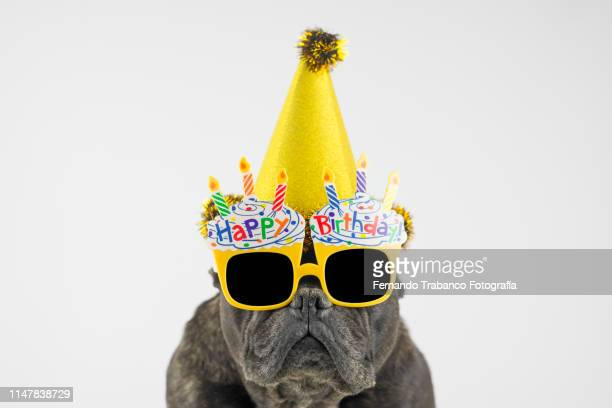 birthday dog - yellow hat stock pictures, royalty-free photos & images