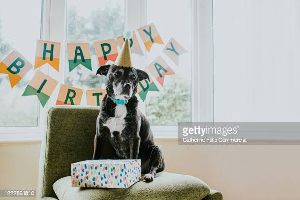 birthday dog - gifts stock pictures, royalty-free photos & images