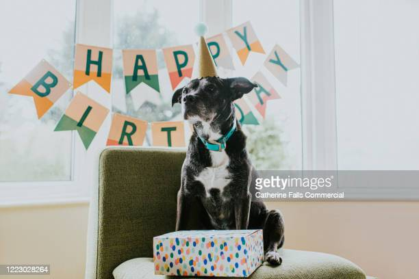 birthday dog - birthday stock pictures, royalty-free photos & images
