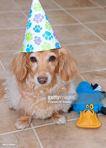 birthday dog - duck billed platypus stock pictures, royalty-free photos & images