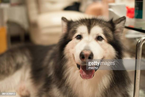 birthday party - malamute stock pictures, royalty-free photos & images