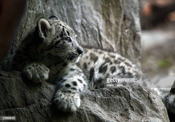 Biscuit a baby male snow leopard makes his public debut at the Bronx Zoo August 14 2003 in New York City Biscuit was born June 5 2003 and weighs...