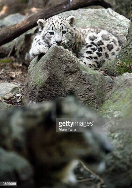 Biscuit a baby male snow leopard makes his public debut with his mother Shikari at the Bronx Zoo August 14 2003 in New York City Biscuit was born...