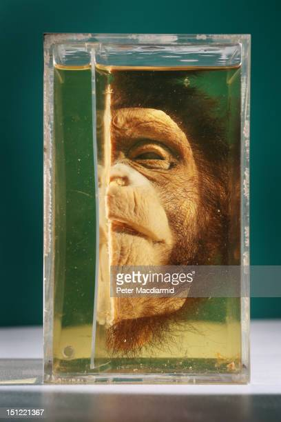 A bisected chimpanzee head is preserved at The Grant Museum of Zoology on September 4 2012 in London England Containing 67000 specimens the Grant...