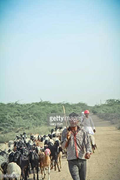 Bishnoi shepherd herds his flock in the arid country just outside Jodhpur. Rajasthan, India.
