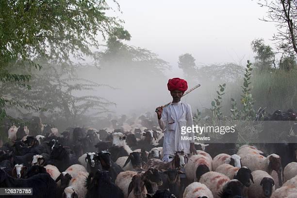 Bishnoi shepherd with sheep (Ovis aries) and goats (Capra aegagrus hircus), Rajasthan, India