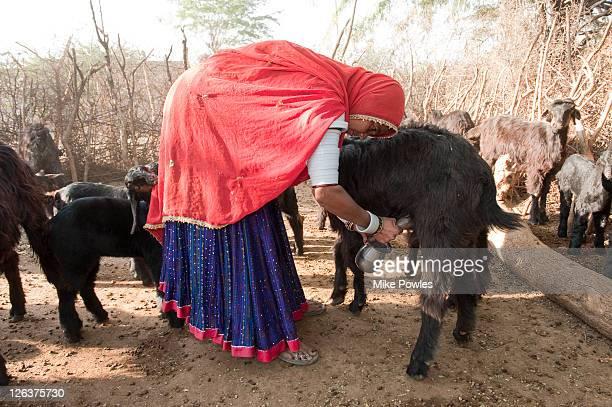 Bishnoi woman milking goat (Capra aegagrus hircus) by hand, Rajasthan, India