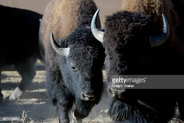 Bison are herded through a pen during the annual bison roundup at the Rocky Mountain Arsenal National Wildlife Refuge in Commerce City CO December 17...