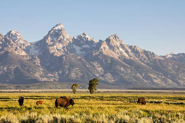Bison At Antelope Flats Wall Art