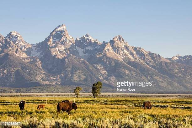 bison at antelope flats - jackson hole stock pictures, royalty-free photos & images