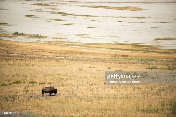 Bison at Antelope Island State Park, Salt Lake City. Utah