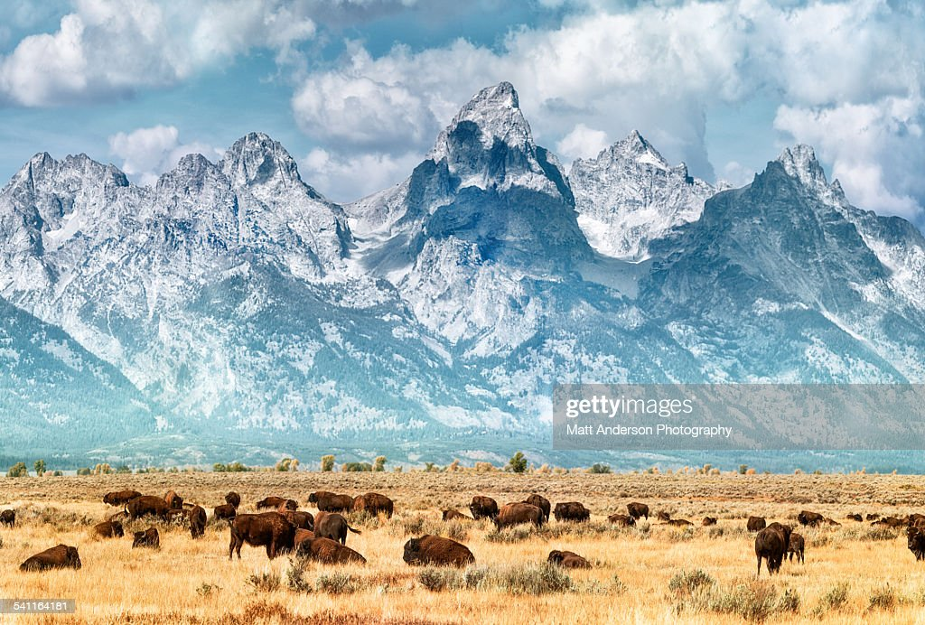 Bison on the prairie below the Grand Teton Range. Fall colors on the Grand Teton Mountain Range. Bison (or Buffalo) migrate out of Yellowstone National Park in winter
