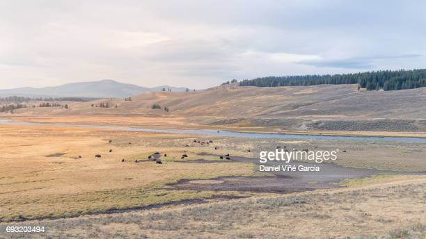 Bison (or Buffalo) below the Yellowstone National Park