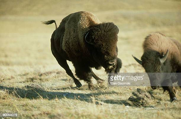 bison: bison bison  bull repelling rival  waterton lakes np, canada
