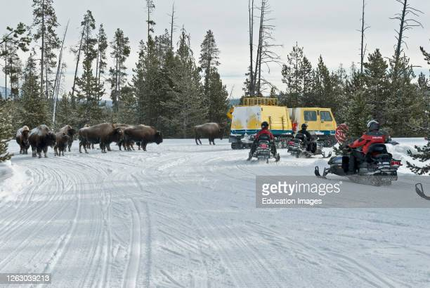 Bison Block a Snowy Park Road Winter Yellowstone National Park
