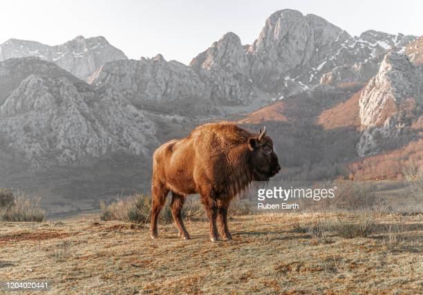 bison bonasus, female european bison in mountains - provinz leon stock-fotos und bilder