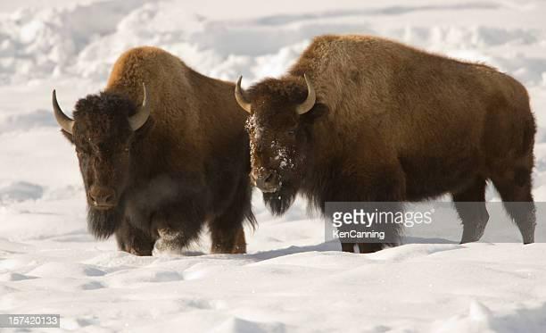 Frères de bison