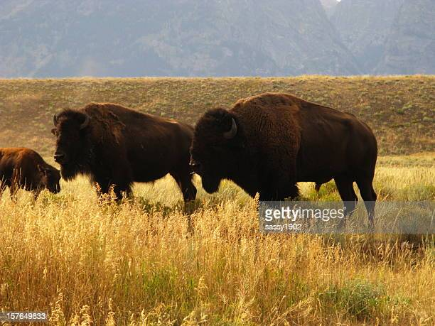 Bison Buffalo Family