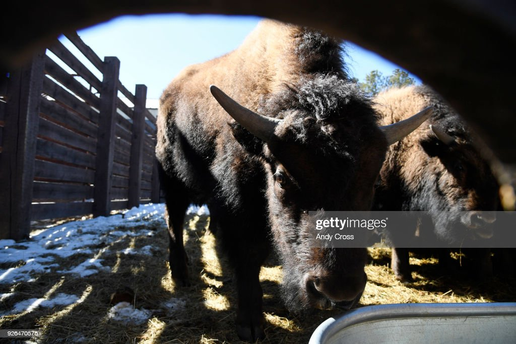Bison Auction : News Photo
