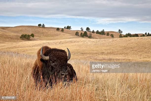 bison (bison bison) bull, custer state park, south dakota, united states of america, north america - dakota james photos et images de collection