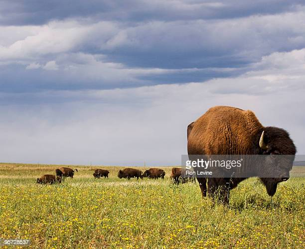 bison bull grazing in field - buffalo stock pictures, royalty-free photos & images