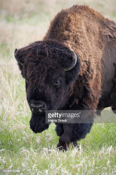 bison bull walking toward camera - black hills stock pictures, royalty-free photos & images