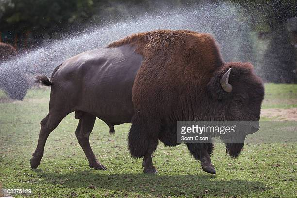 A bison cools off in a sprinkler at the Brookfield Zoo on Augusts 13 2010 in Brookfield Illinois The National Weather Service has issued an excessive...