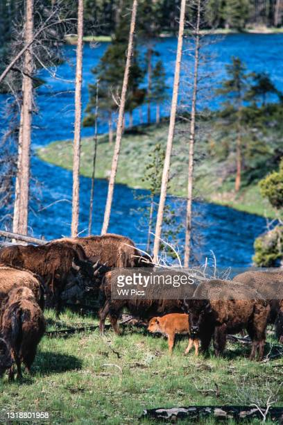 Bison cow and her young calf in a herd along the Madison River in Yellowstone National Park in Wyoming, USA..