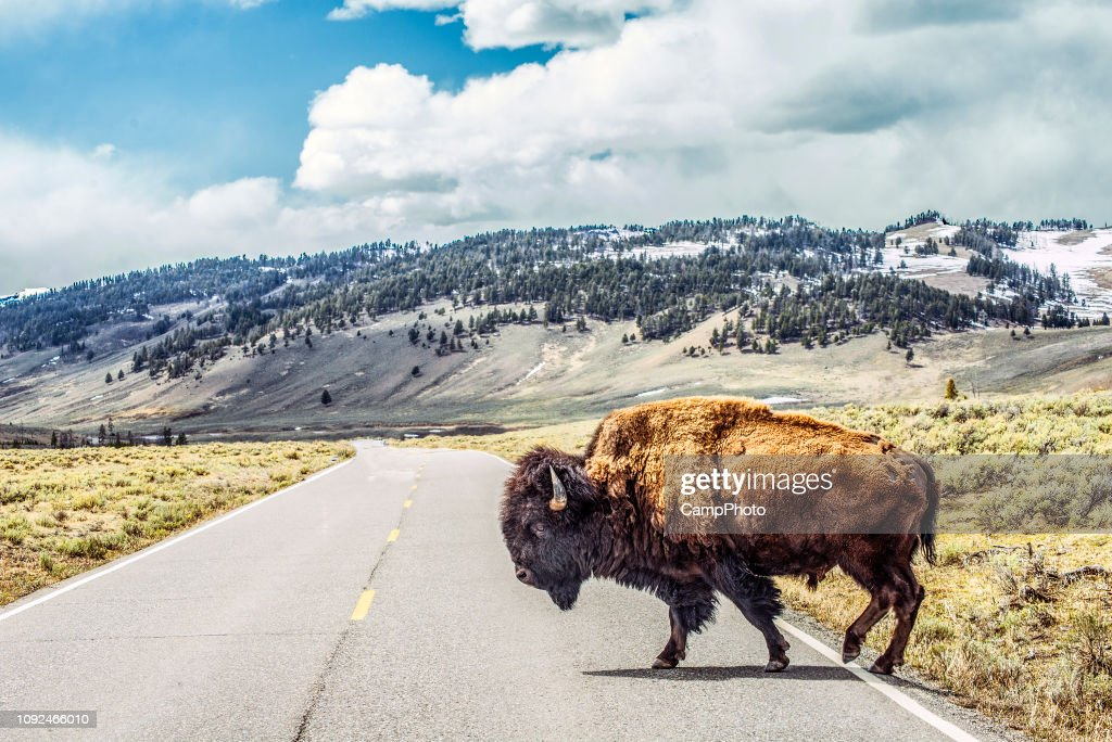 Bison crossing : Stock Photo