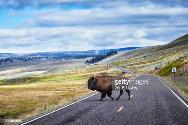 bison crossing road, yellowstone national park, canyon village, wyoming, usa - yellowstone national park stock pictures, royalty-free photos & images
