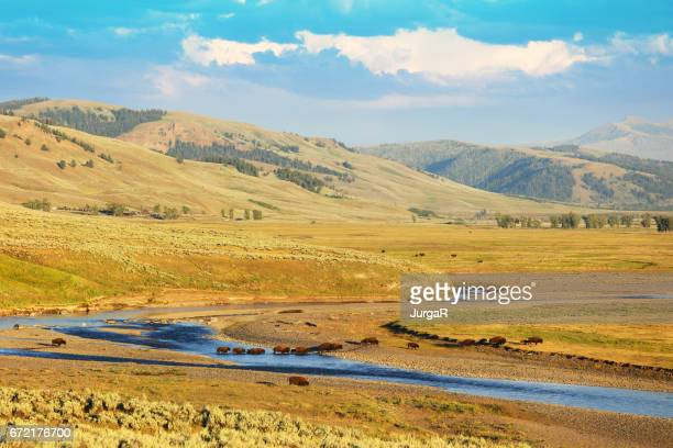 bison crossing the river at lamar valley in yellowstone national park - yellowstone river stock photos and pictures