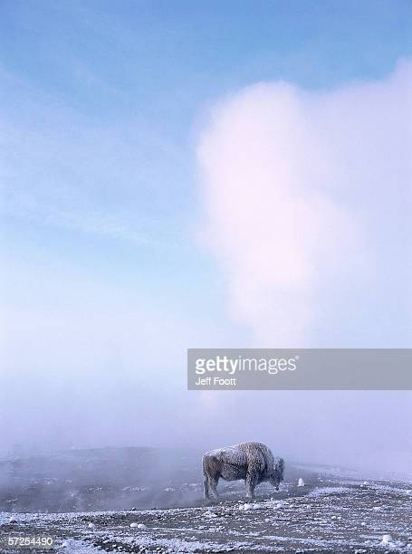 Bison dusted with snow stands near geyser erupting steam. Bison bison. Old Faithful, Yellowstone National Park, Wyoming.
