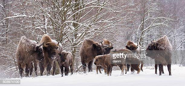 bison family in winter day in the snow - bialowieza forest foto e immagini stock